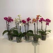 Picolo Orchidee