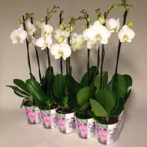 Schmetterling Orchidee Kaskade