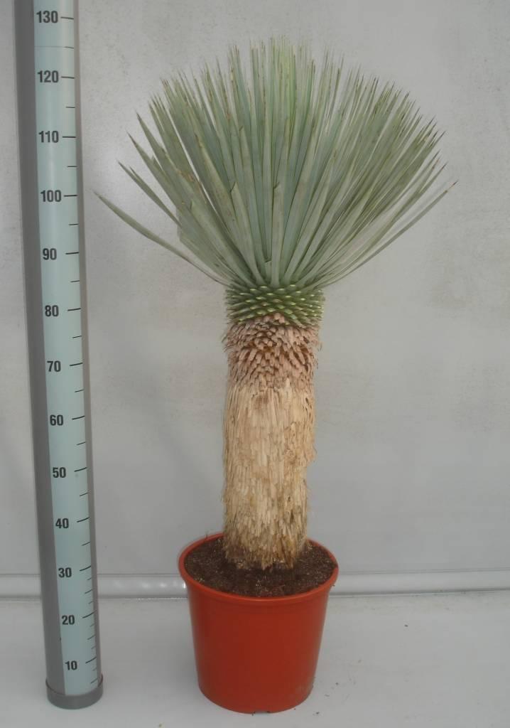 yucca rostrata palmenlilie teeninga palms. Black Bedroom Furniture Sets. Home Design Ideas