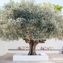 Olea Europaea - Olivenbaum