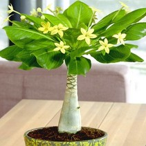 Hawaiiaanse Palmboom - Brighamia Insignis