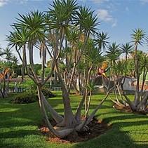 """Yucca Elephantipes """"Juwel"""""""