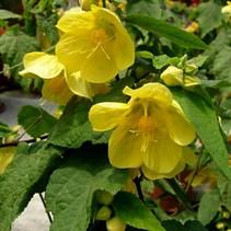 Abutilon bloemen