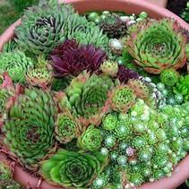 Hardy Succulent Plant - Sempervivum