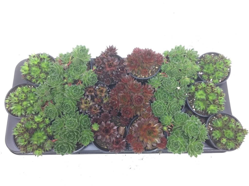Tropische Tuinplanten Hardy Sukkulente   Sempervivum Kaufen