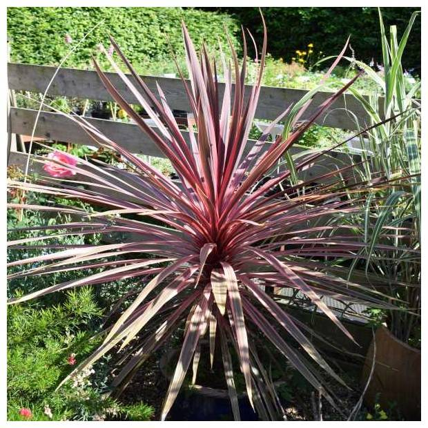 Palmen Koolpalm - Cordyline Australian Red Star Kopen