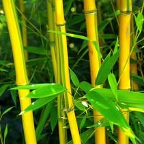 Phyllostachys aureosulcata yellow stems