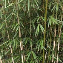 Fargesia rufa nicht überwucherter Bambus