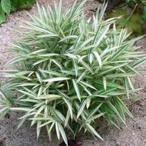 Pleioblastus - variegatus invading bamboo