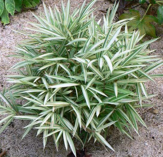 Bamboe Pleioblastus – variegatus - woekerende bamboe dwerg bamboe kopen