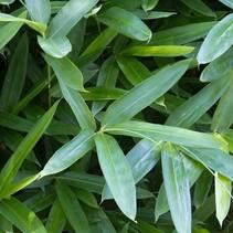 Sasa - Tsuboianna eindringenden Bambus