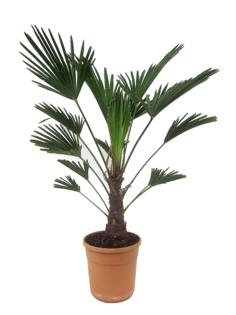 trachycarpus wagnerianus teeninga palmen. Black Bedroom Furniture Sets. Home Design Ideas