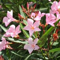 Nerium oleander verschillende kleuren