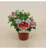 Bloemen Anti muggen plant