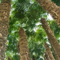 Trachycarpus Fortunei ORGANIC FARMED Action!