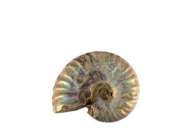 Ammoniet fossielen