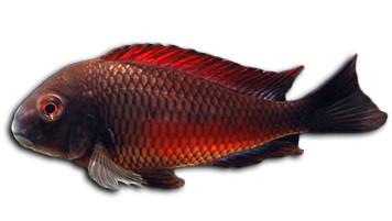 Tropheus Moorii Moliro - Lake tanganyika