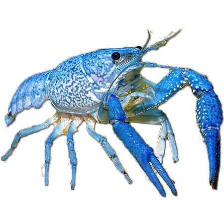 Blauwe Florida Kreeft (Procambarus Alleni)