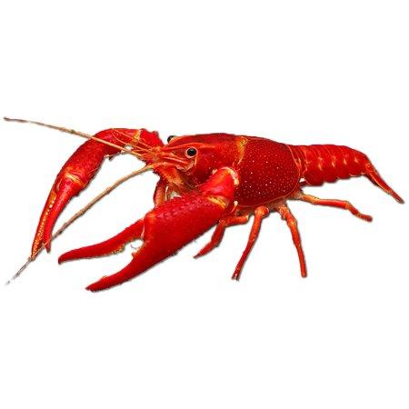 Rode Rivierkreeft (Procambarus Clarkii)