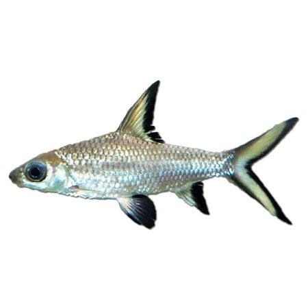 Zilverhaai (Balantiocheilos Melanopterus)