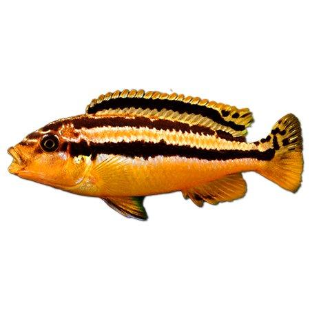 Melanochromis Auratus (Malawi Cichliden)