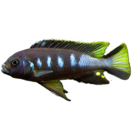 Pseudotropheus Elongatus Chewere