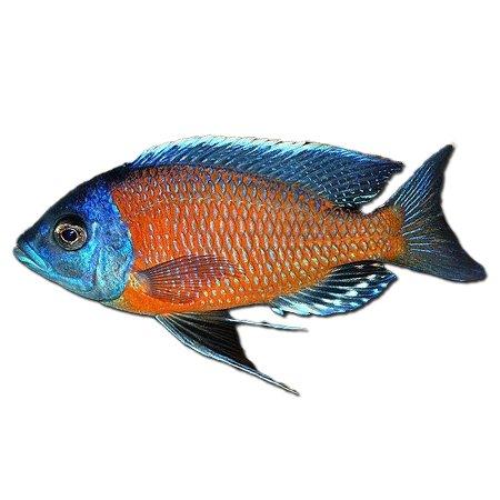Haplochromis Borleyi Kadango
