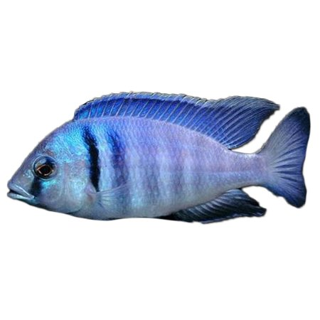 Likomamaulbrüter (Placidochromis Electra) Syn. Haplochromis Electra