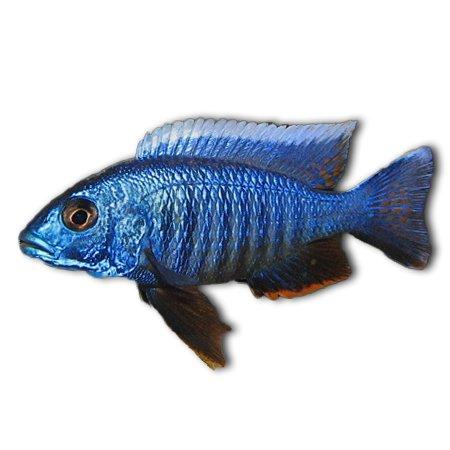 Haplochromis Ahli (Malawi Cichliden)