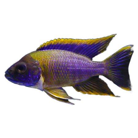 Lwanda Peacock