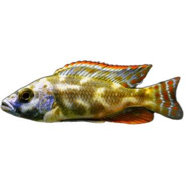 Livingstone Cichlid