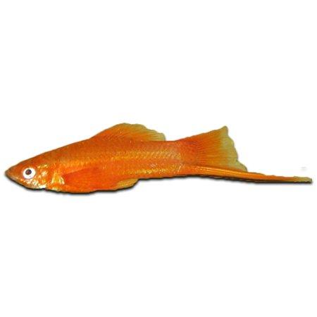 Zwaarddrager Rood (Xiphophorus Helleri)