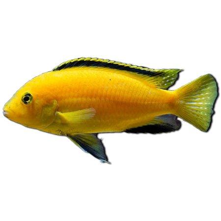 Electric Yellow Cichlid