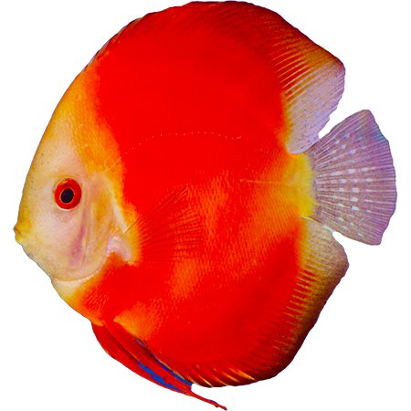 Red Marlboro Discus (Red Ruby)