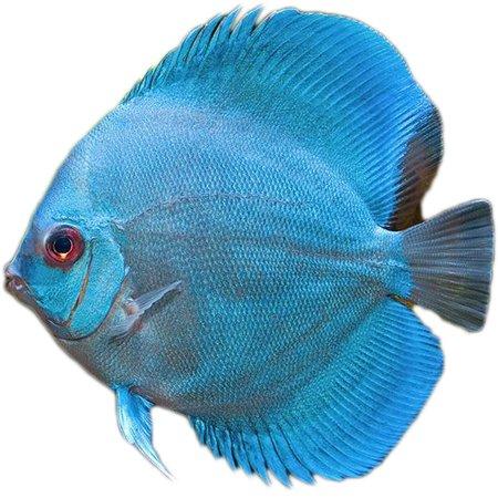 Discus Cobalt Blue (Symphysodon Aequifasciatus)