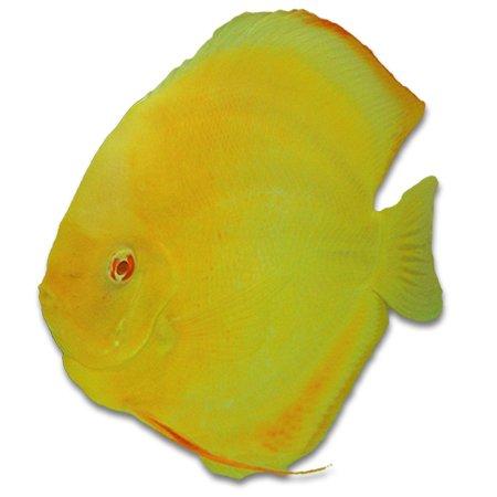 Discusvis Siam Gold (Symphysodon Aequifasciatus)