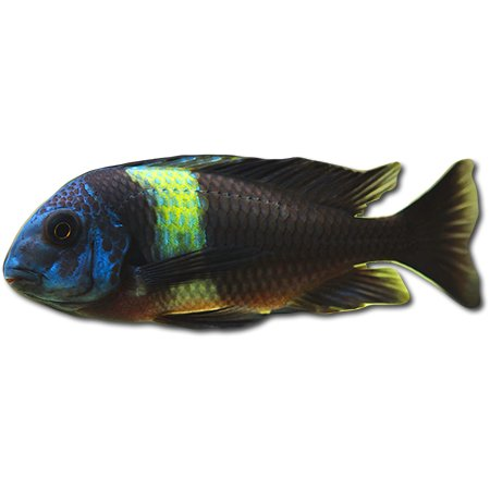 Tropheus Duboisi - Tanganyika See