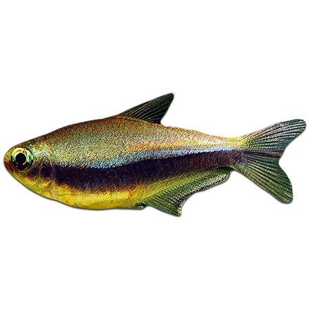 Keizertetra (Nematobrycon Palmeri)