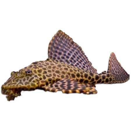 Zuignapharnasmeerval (Hypostomus Plecostomus)