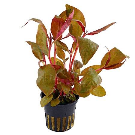 Alternanthera  Lilacina (Aquarium Waterplant)