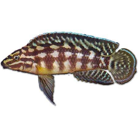 Julidochromis Marlieri (Tanganyika Cichliden)