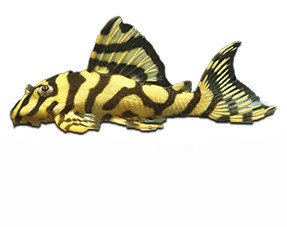 Catfish L-nr.