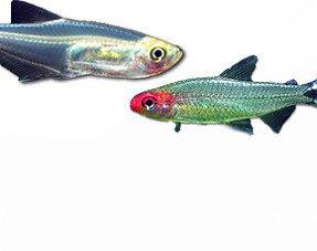 Tetra  & Salmon