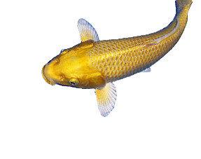 Vijvervissen
