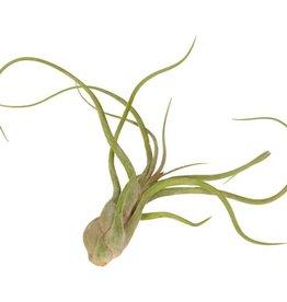 Airplants Tillandsia Caput Medusae - Airplants