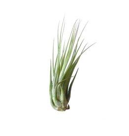 Airplants Tillandsia Ionantha Scaposa