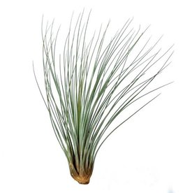 Airplants Tillandsia Juncea M