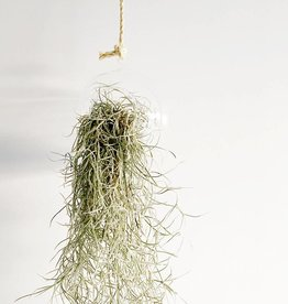 Airplants Tillandsia Usneoides - Filles de l'air