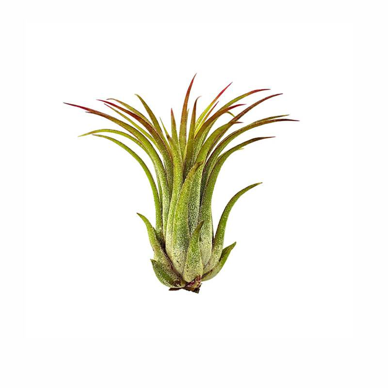 Airplants Tillandsia Ionantha Rubra