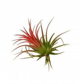 Airplants Tillandsia Ionantha Rood